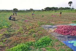 ONOIN HARVEST AT BAWKU
